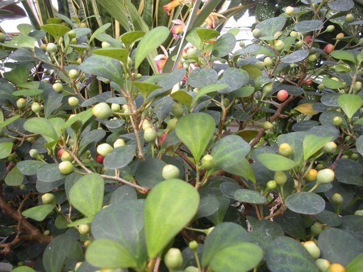 pianta ficus deltoidea