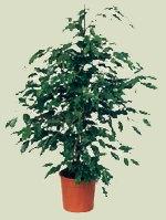 """Ficus Benjamina"""""""