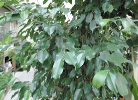Bengiamino  -  Ficus Benjamina