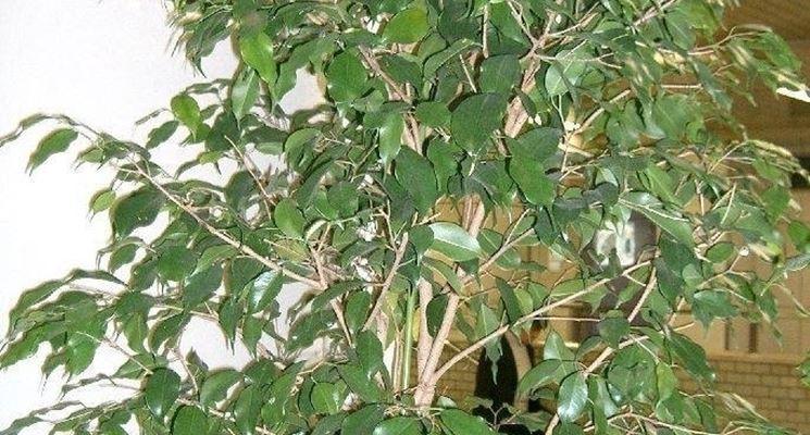Potatura ficus