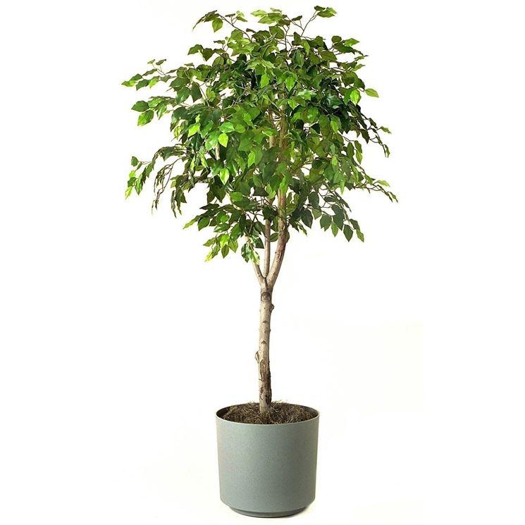 Pianta Ficus Benjamina