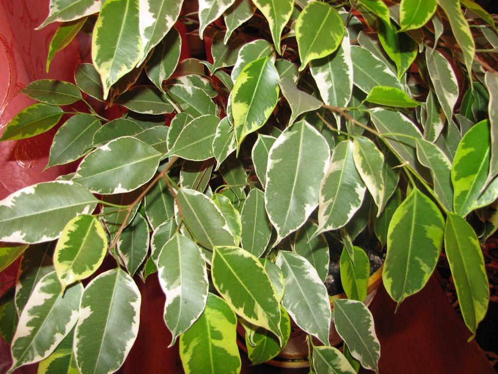 Ficus Benjamin Perde Foglie bengiamino - ficus benjamina - ficus benjamina - piante da