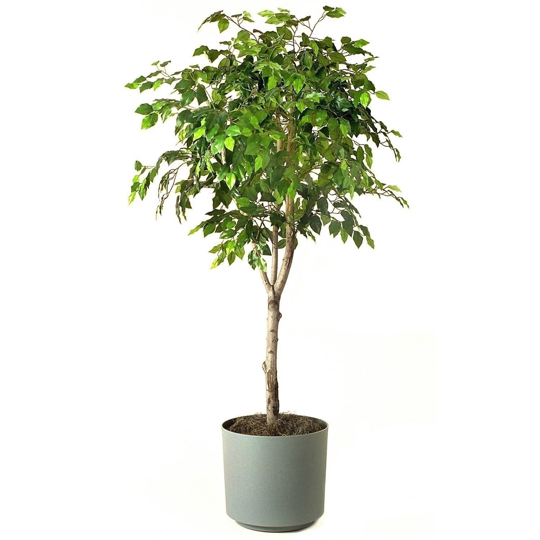Come Riprodurre Il Ficus Benjamin bengiamino - ficus benjamina - ficus benjamina - piante da