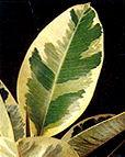 """Ficus elastica"""""""