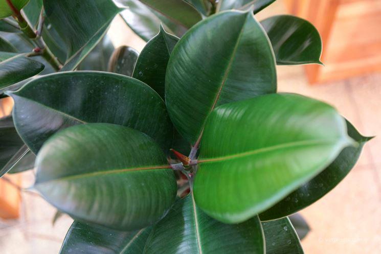 foglie ficus elastica