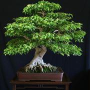 pianta di ficus