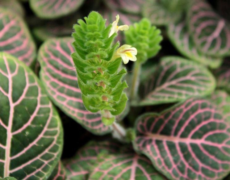 fiore fittonia