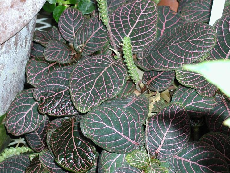 pianta fittonia verschaffeltii