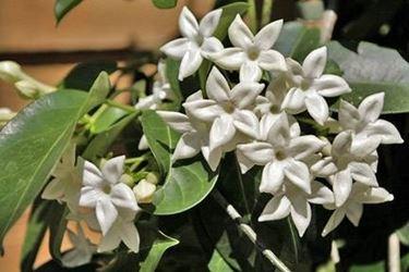 Gardenia Floribunda syn. Jasminoides