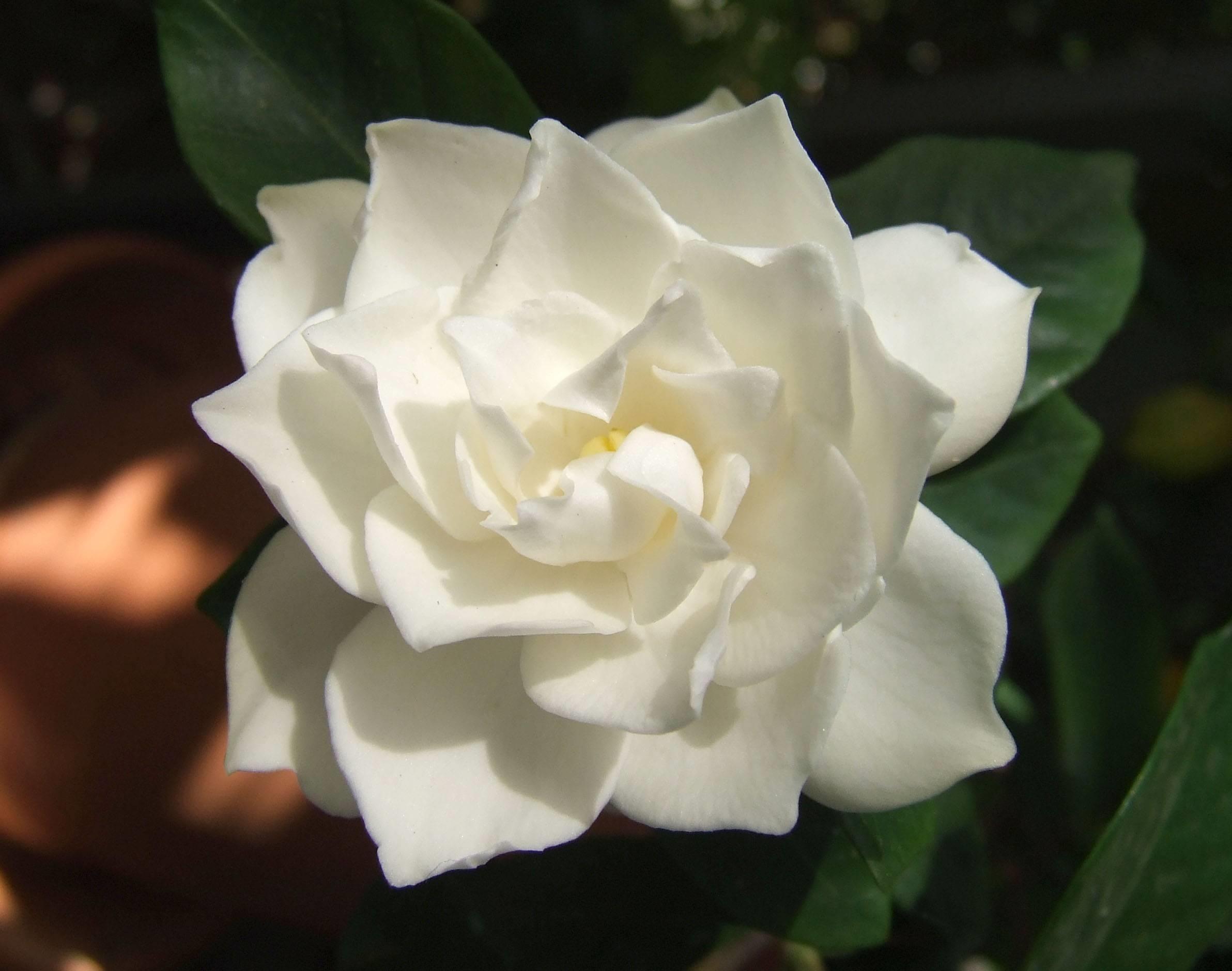 La spettacolarit� della gardenia bianca