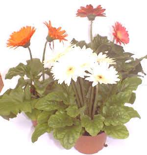 Gerbera jamesonii""