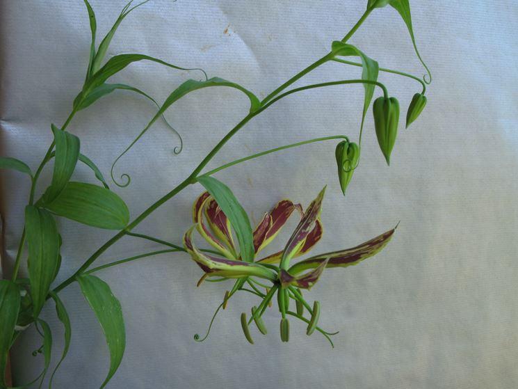 gloriosa pianta