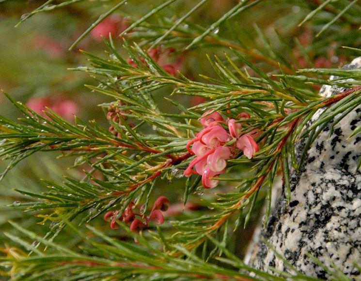 pianta grevillea