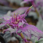 pianta Velluto porporino