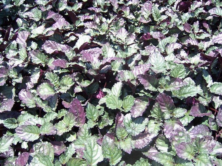 foglie hemigraphis