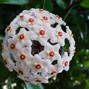 hoya fiori
