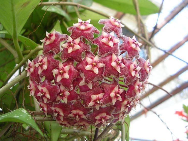 hoya - Fiore di porcellana
