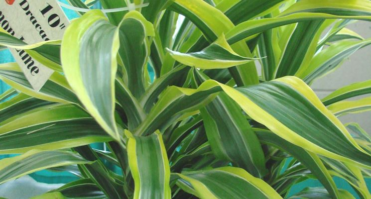 Lucky bamboo dracaena sanderiana piante da interno for Bambu in vaso prezzo