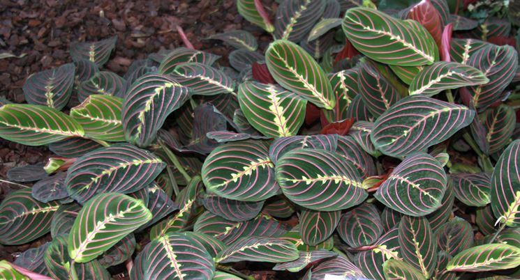 Maranta foglie