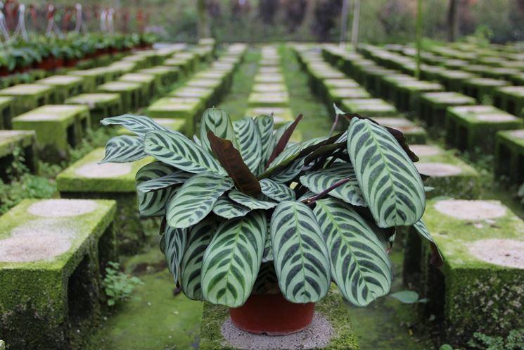pianta maranta