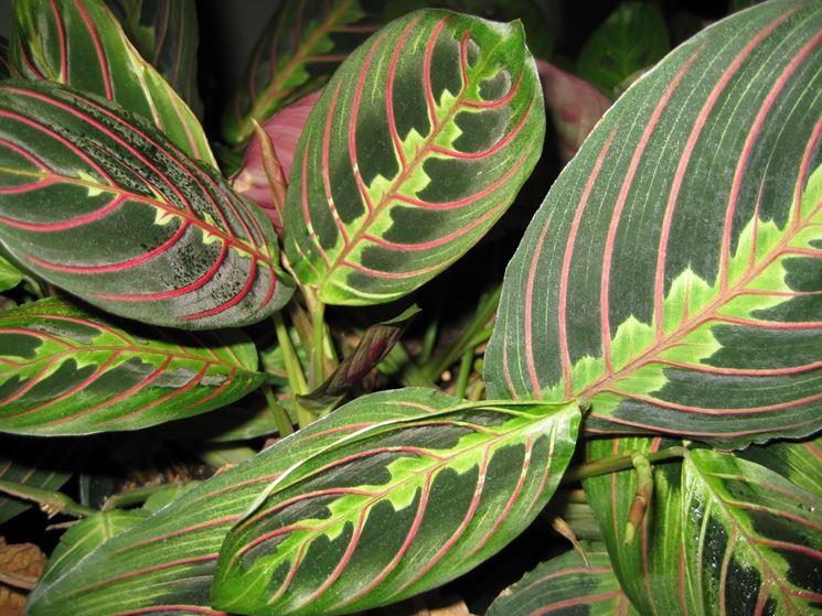 Maranta Leuconeura pianta
