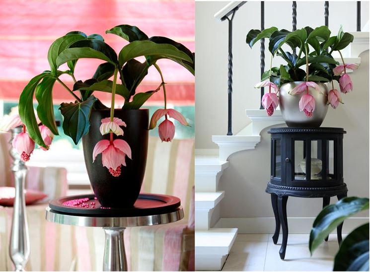 fiori medenilla