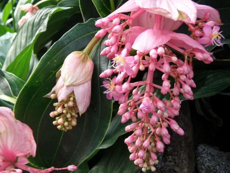 pianta medinilla