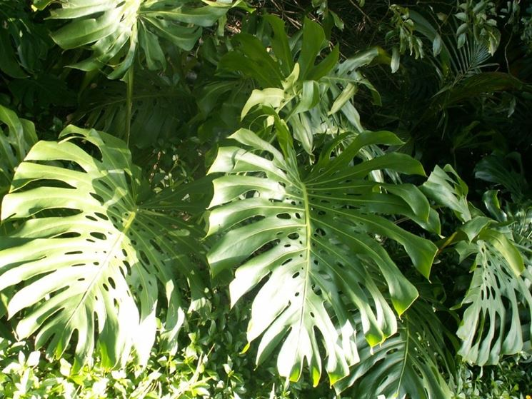 foglie <em>monstera</em>