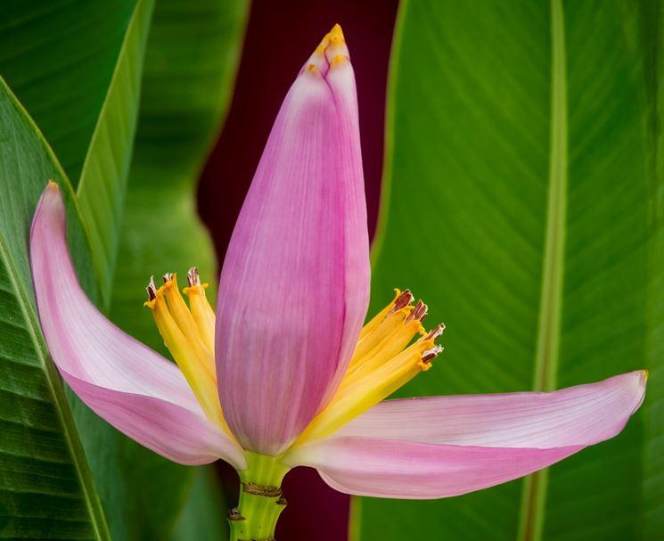 fiori banano