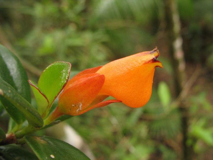 pianta Nematanthus gregarius