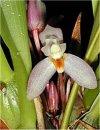 """Maxillaria"""""""
