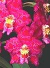 "Odontoglossum"""