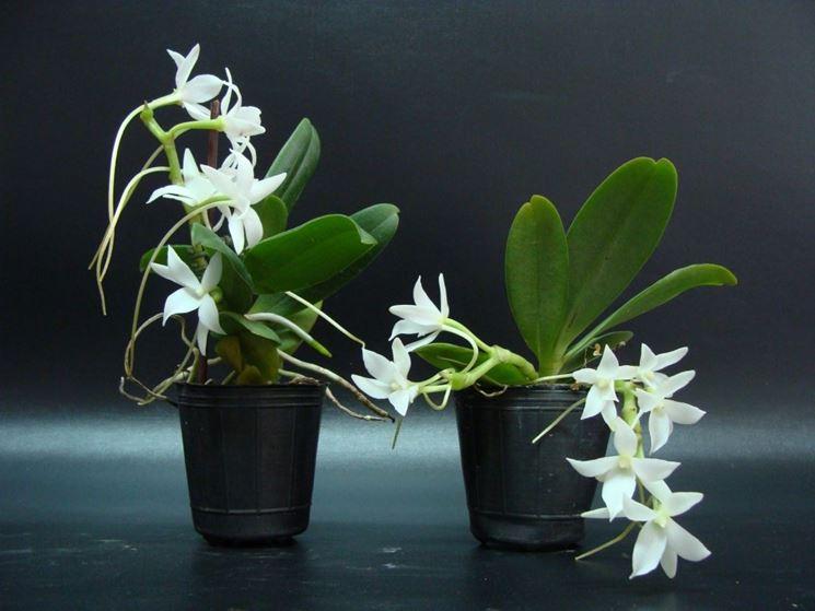 piante Aerangis