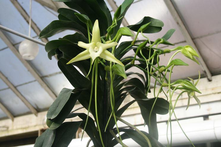 pianta Angraecum sesquipedale
