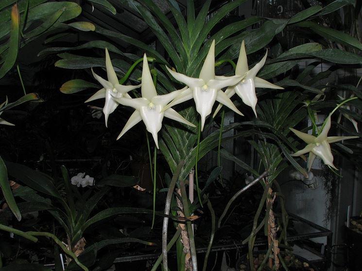 angrecum pianta