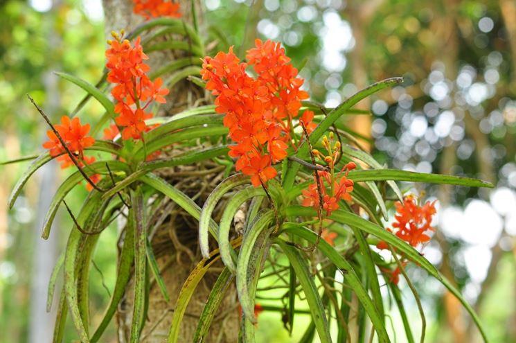 pianta Ascocentrum curvifolium