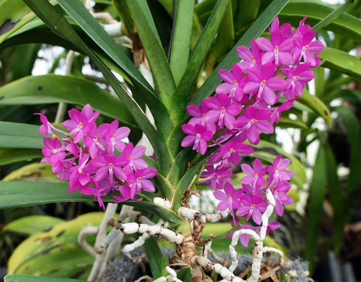 ascocentrum pianta