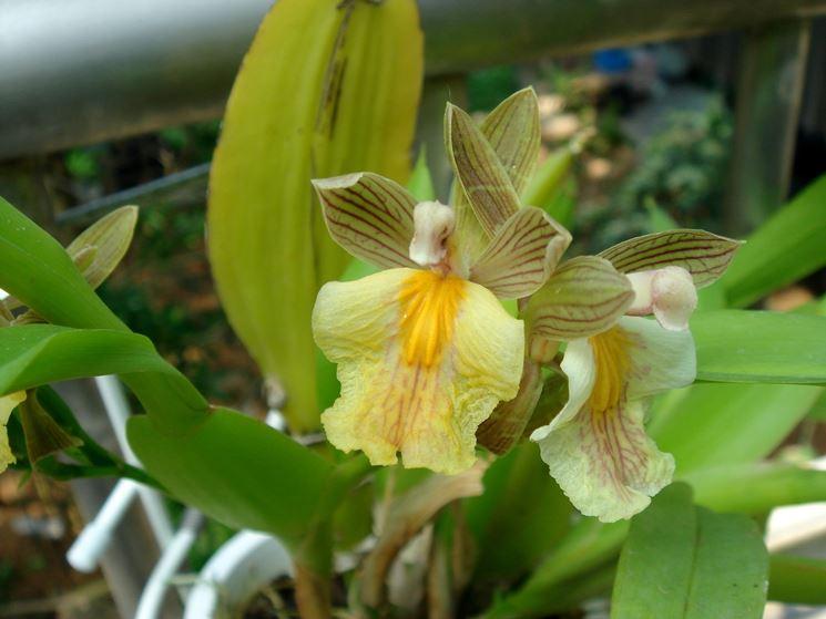 Aspasia aspasia orchidee aspasia orchidee for Semi orchidea