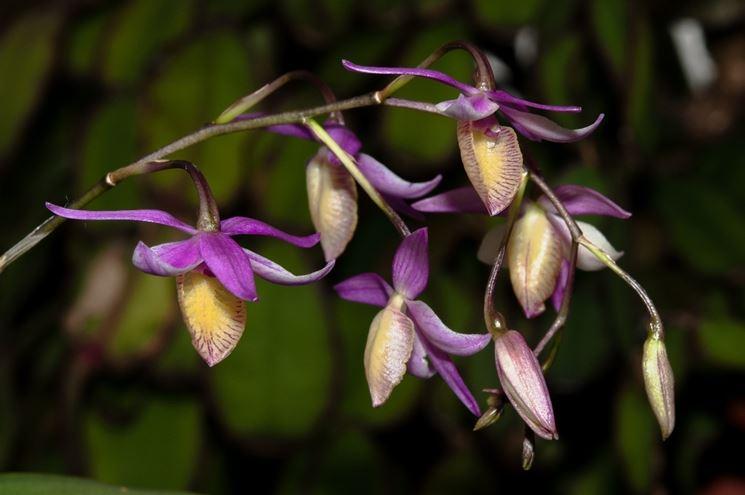 barkeria fiori