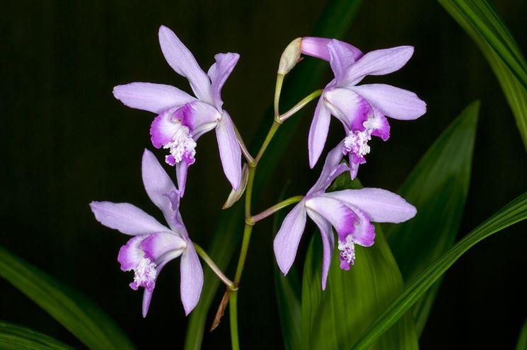fiore di Bletilla striata
