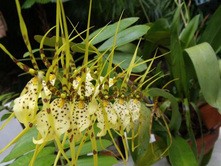 Brassia brassia orchidee brassia orchidee - Orchidee da appartamento ...