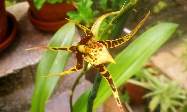 Brassia maculata