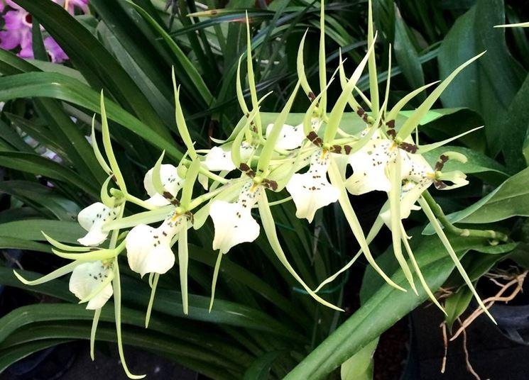 Brassia ochroleuca