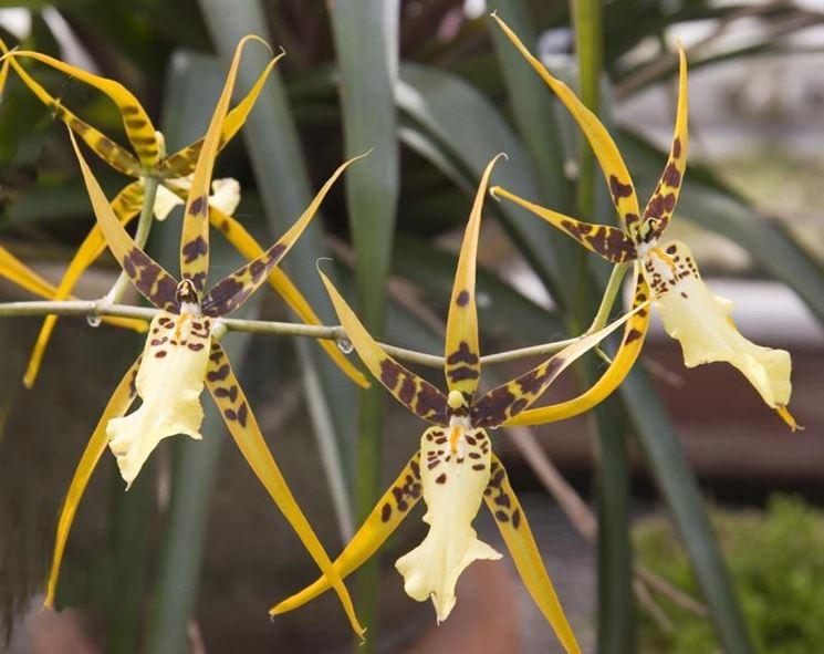 Brassia ibrido