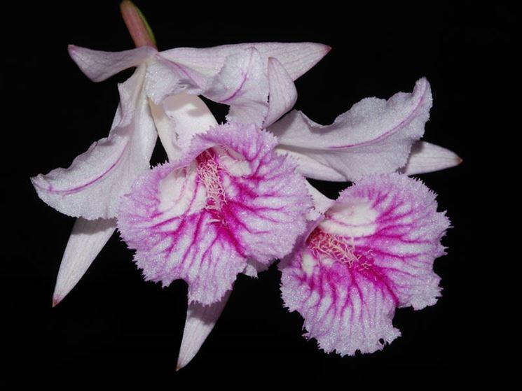 pianta Broughtonia