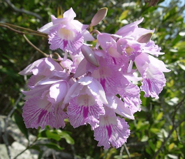 Broughtonia lindenii