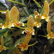Bulbophyllum monanthum