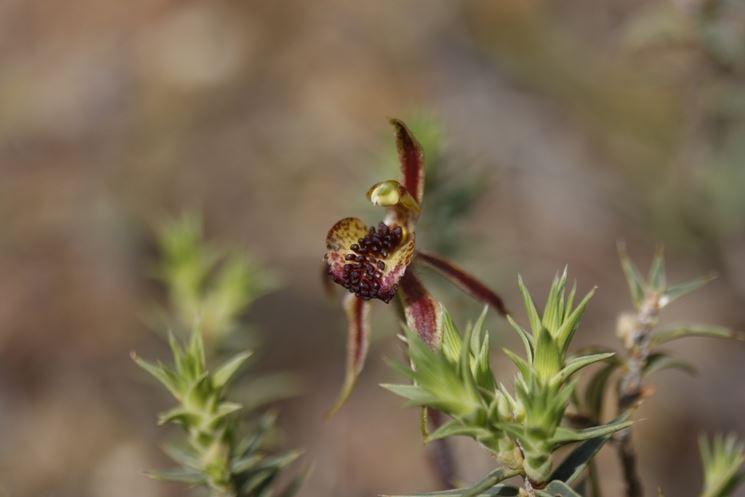 caladenia actensis