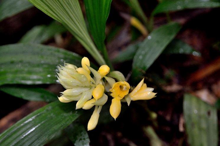 Calanthe densiflora