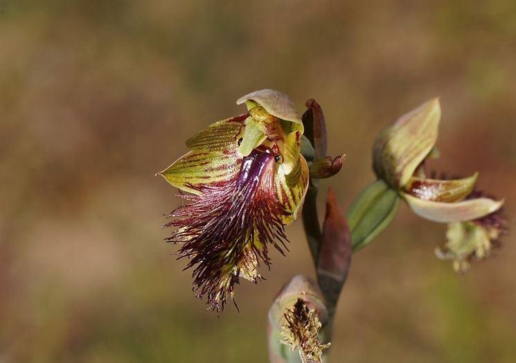 fiori calochilus
